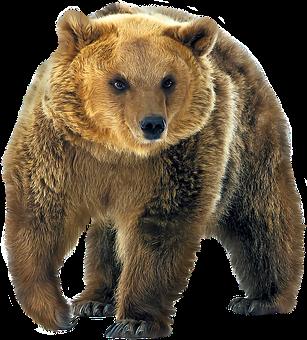 Bear, Bears, Grizzley, Predator, Wild, Nature, Animals