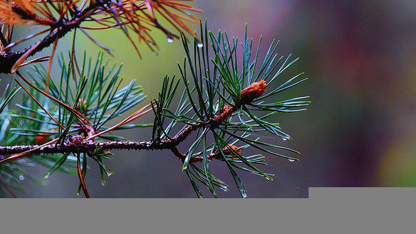 Pine, Conifer, Water Droplets, Evergreen, Nature