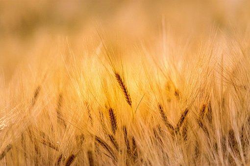 Wheat, Field, Agriculture, Farm, Nature, Farming