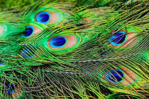 Peacock, Feathers, Close Up, Peacock Feathers, Plumage