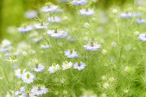 Nigella, Flowers, Plants, Love In A Mist, Petals, Buds