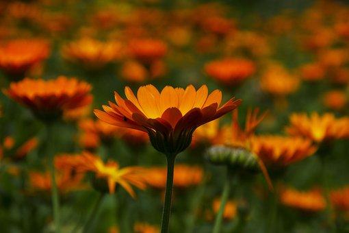 Flowers, Plants, Petals, Nature, Orange Flower