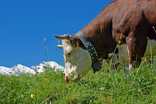 Cow, Cattle, Alpine Red Dappled, Pasture, Graze, Prato