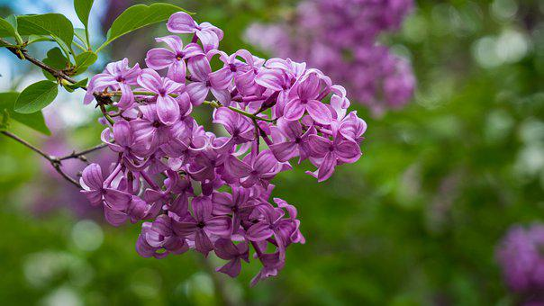 Lilac, Flowers, Branch, Common Lilac, Purple Flowers