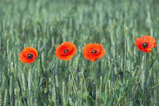 Meadow, Poppies, Field, Red Poppies, Red Flowers