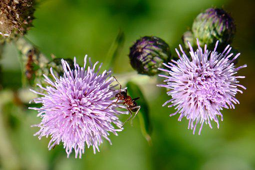 Ant, Flower, Wildflower, Insect, Nature, Entomology