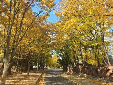 Avenue, Trees, Autumn, Leaves, Foliage, Gingko Trees