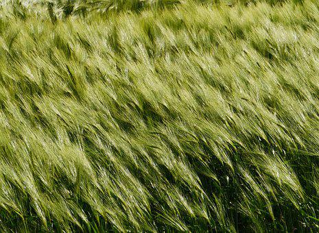Barley Field, Cereals, Agriculture, Grain, Awns