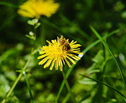 Bees, Insects, Flower, Nature, Yellow Flower