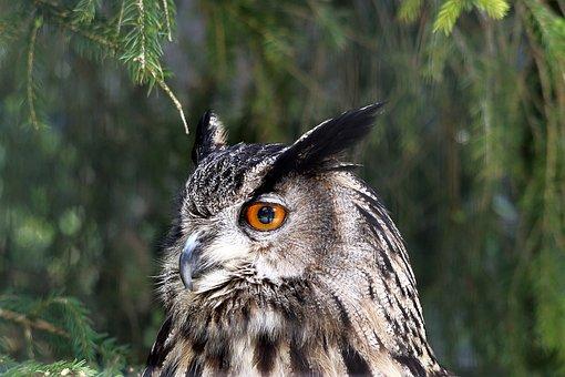 Eagle Owl, Owl, Bird Of Prey, Raptor, Wild Bird