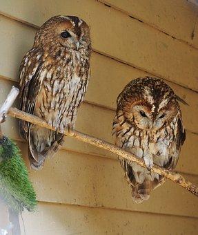 Owls, Birds, Perched, Perched Birds, Pair