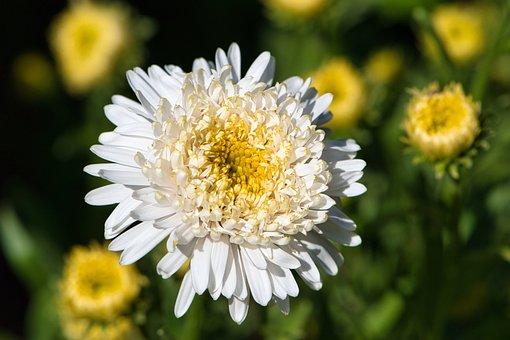 Aster, Flower, Plant, White Flower, Petals, Bloom