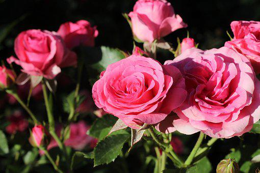 Roses, Flowers, Pink Roses, Pink Flowers, Blossom