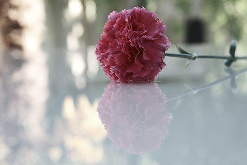 Carnation, Flower, Purple Flower, Petals, Purple Petals