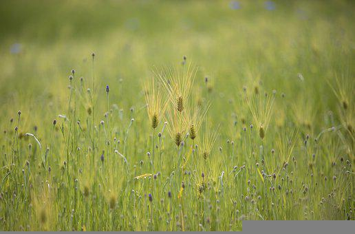 Barley, Flower, Buds, Spikelets, Crop, Plants, Field