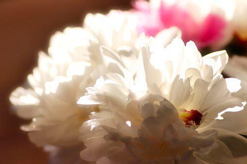Flower, Peony, White Peony, Bloom, Blossom, Flora