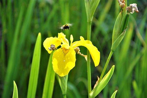 Yellow Iris, Bee, Flower, Yellow Flower, Iris, Insect