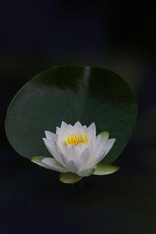 Lotus, Flower, Water Lily, White Flower, Plant, Petals