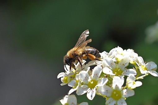 Wild Bee, Flowers, Pollinate