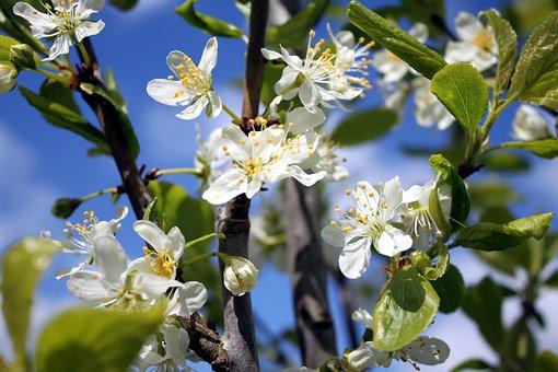 Plum Blossoms, Flowers, White Flowers