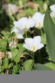 Flowers, White Flowers, Plant, Nature, Leaves, Petals