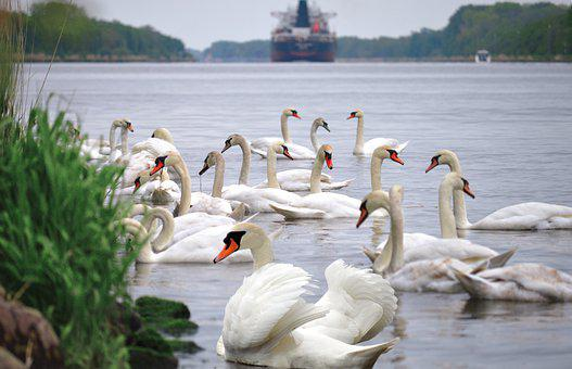 Swans, Animals, White Swans, Nature, Sailing Boat