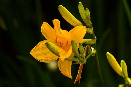 Lily, Flower, Nature, Yellow Lily, Petals