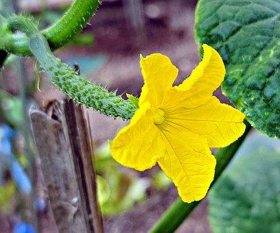 Flower, Cucumber Flower, Yellow Flower, Petals