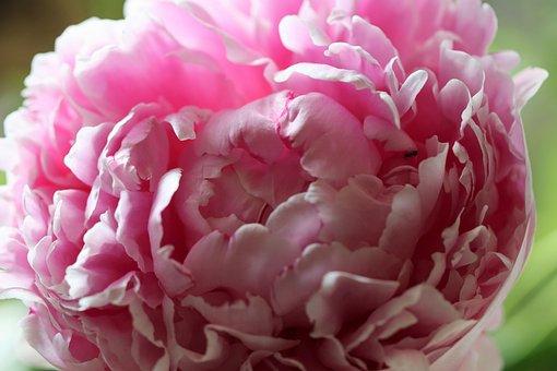 Peony, Flower, Pink Flower, Petals, Pink Petals