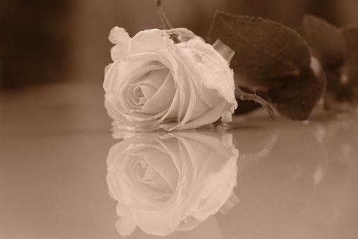 Rose, Flower, Reflection, Petals, Rose Petals, Bloom