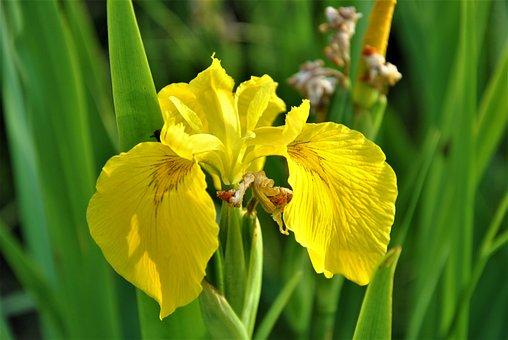 Yellow Iris, Flower, Yellow Flower, Iris, Petals