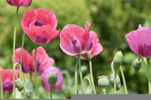 Poppies, Flowers, Pink Poppies, Buds, Nature, Bloom