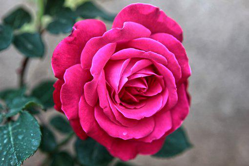Rose, Flower, Pink Rose, Pink Flower, Plant, Flora