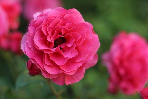 Roses, Flowers, Pink Roses, Plant, Flowering Plant