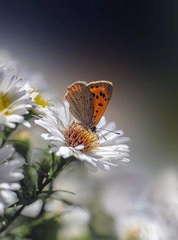 Butterfly, Copper Butterfly, Pollen, Flower
