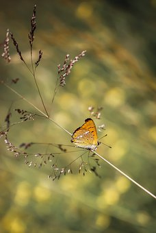 Butterfly, Copper Butterfly, Pollinate, Pollination