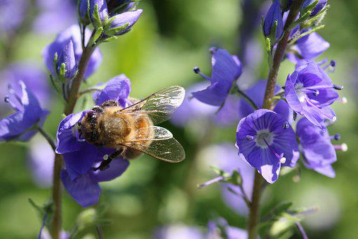 Bee, Bellflowers, Pollinate, Pollination, Insect