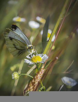 Butterfly, Pollinate, Chamomile, Pollination, Flower