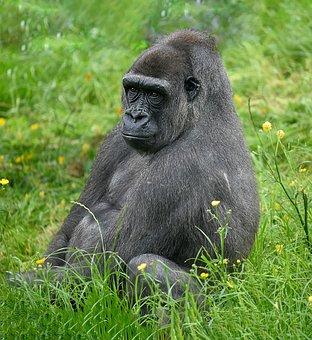 Gorilla, Western Lowland Gorilla, Monkey, Primate