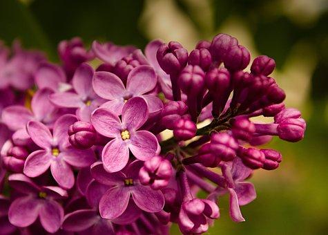 Lilacs, Purple, Flowers, Purple Flower, Petals