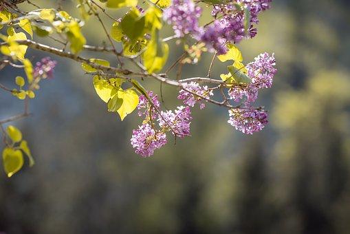 Lilacs, Bush, Flowers, Branches, Purple Flowers