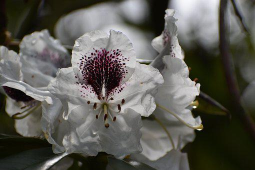 Rhododendrons, White Flowers, Flowers