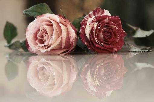 Roses, Flowers, Reflection, Pair, Petals, Rose Petals