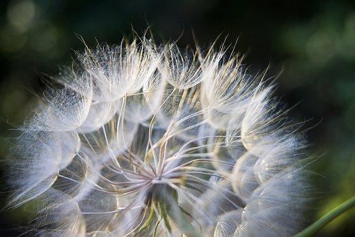 Dandelion, Wildflower, Seeds, Seed Head, Blowball
