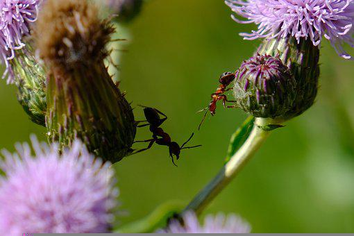 Ants, Flowers, Insect, Wildflowers, Nature, Entomology