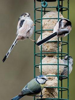 Bird Feeder, Tit Bird, Wild Bird, Garden Bird, Bird