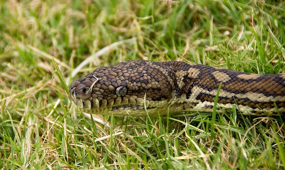 Carpet Python, Snake, Python, Head, Close-up, Eyes