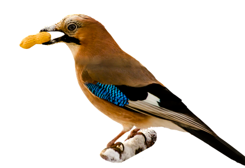 Bird, Jay, Isolated, Png, Feather, Nut, Peanut, Food