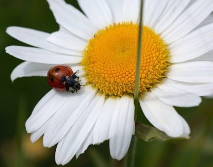 Marguerite, Ladybug, Nature, Insect, Blossom, Bloom