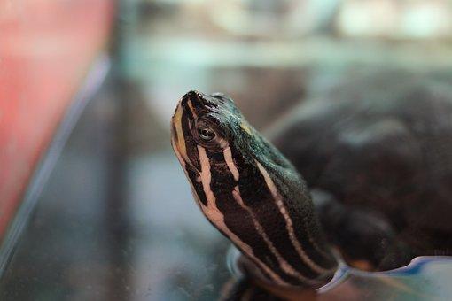 Turtle, Water Turtle, Reptile, Aquarium, Head, Neck